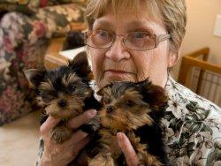 Excellent Tea Cup Size Yorkie Puppies Toronto Ontario Canadian Desi