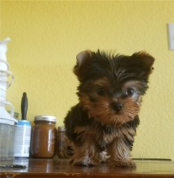 Talented Tea-Cup Size Yorkie Puppies For Adoption Toronto Ontario